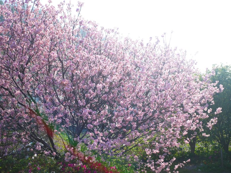 大滿開的香水櫻 | 淡淡雅香 | 香水櫻 | 墨染櫻 | 變色櫻 | 私人園區 | 收費櫻花景點 | 泰安 | 苗栗 | RoundtripJp