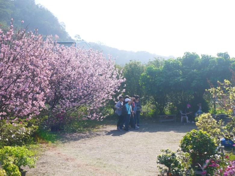 滿開的香水櫻 | 臺灣旅人 | 私人園區 | 收費櫻花景點 | 泰安 | 苗栗 | RoundtripJp