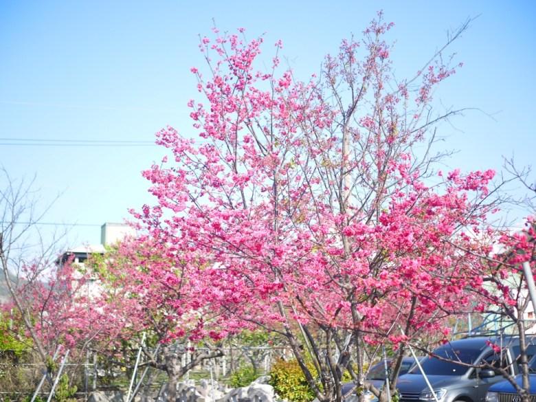 免費停車場旁櫻花 | 盛開的八重櫻 | 泰安 | 苗栗 | Taian | Miaoli | RoundtripJp