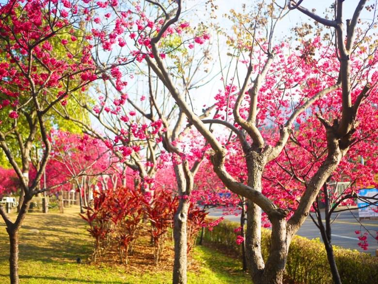 山櫻花並木 | 櫻花公園 | 綠色草地與粉紅花蕊 | Houli | Taichung | Wafu Taiwan | 巡日旅行攝