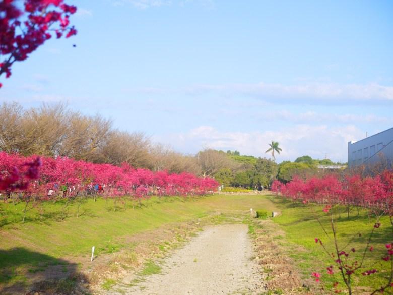 廣闊的櫻花公園 | 大片草皮 | 山櫻花並木 | 櫻花公園 | Houli | Taichung | 巡日旅行攝