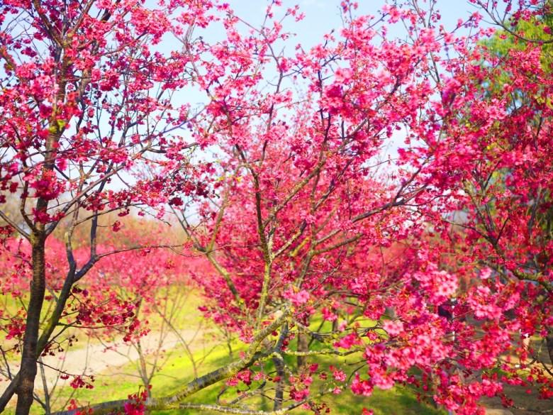 滿滿的櫻花 | 賞好賞滿 | 櫻花海 | 櫻花公園 | Houli | Taichung | 巡日旅行攝