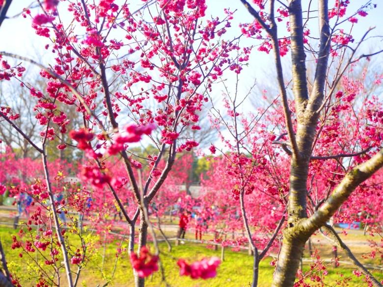 被滿滿山櫻花包圍的櫻花公園 | 夢幻綺麗 | 台中后里櫻花公園 | Houli | Taichung | 巡日旅行攝