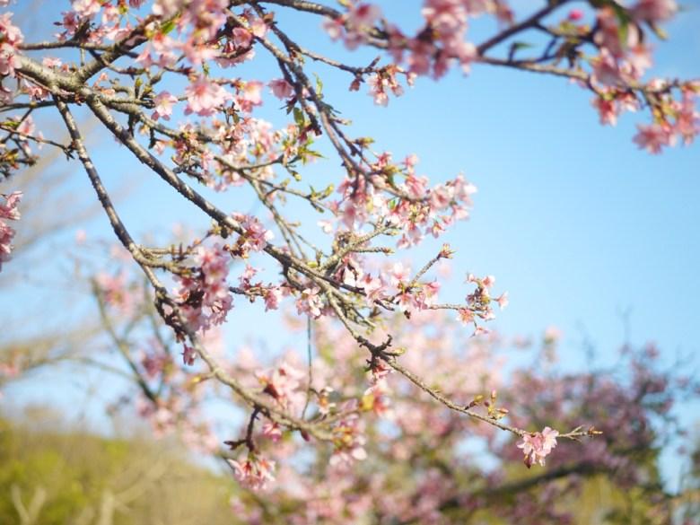 美麗日本河津櫻 | Sakura | さくら | サクラ | Houli | Taichung | 巡日旅行攝