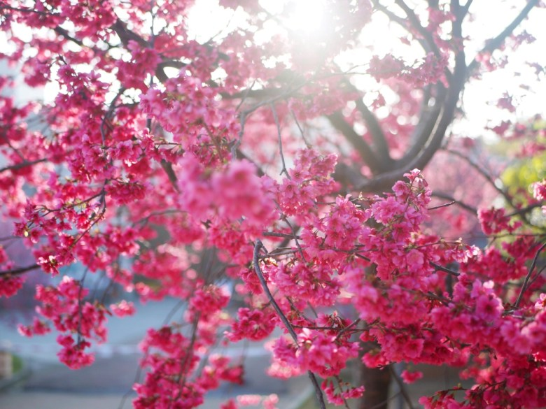 滿開的飽滿紅潤八重櫻 | 台中后里櫻花公園 | Houli | Taichung | RoundtripJp