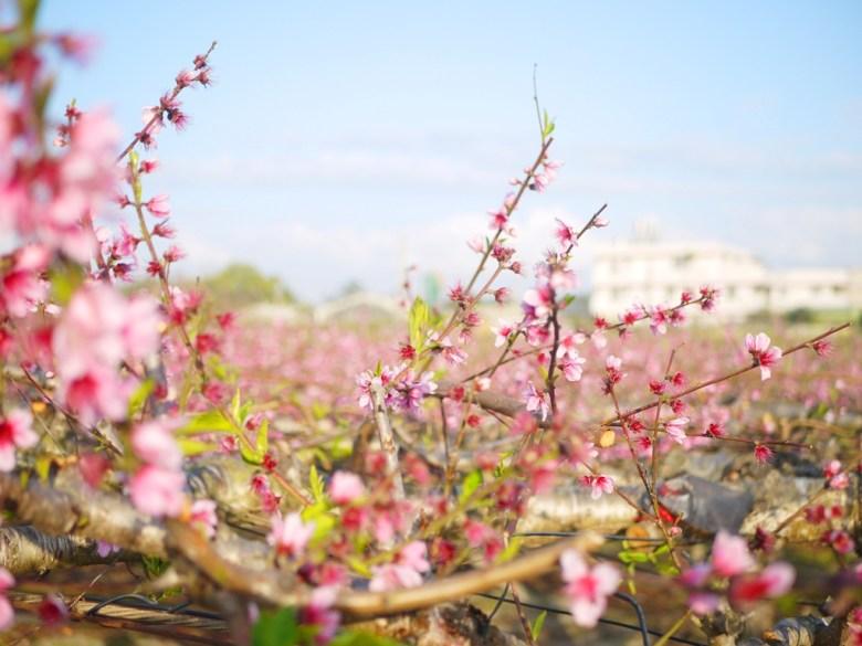 廣大的河津櫻花海 | 九甲七路 | 私人農家園地 | 僅能遠觀不可入園 | Houli | Taichung | RoundtripJp