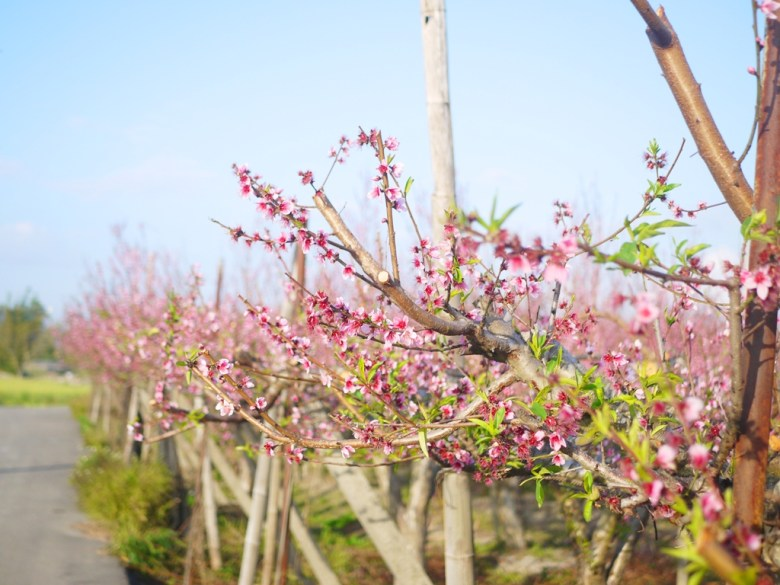 整片的河津櫻花海 | 九甲七路 | 私人農家園地 | 僅能遠觀不可入園 | 后里 | 台中 | 巡日旅行攝