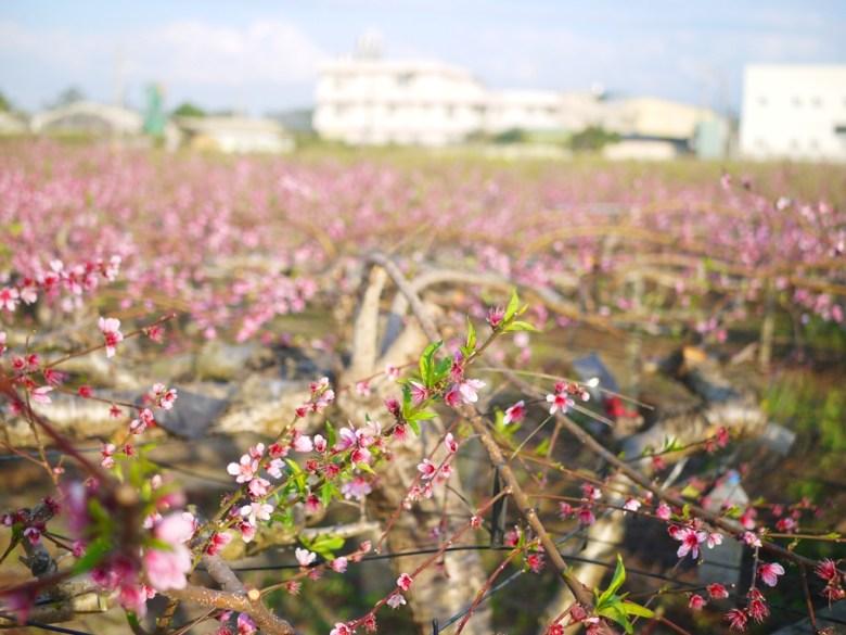 滿滿的河津櫻花海 | 九甲七路 | 私人農家園地 | 僅能遠觀不可入園 | Houli | Taichung | RoundtripJp