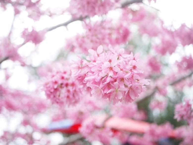 紅粉佳人   粉紅櫻花   有繡球花櫻花之稱   Sakura   さくら   サクラ   Gukeng   Yunlin   和風臺灣   RoundtripJp