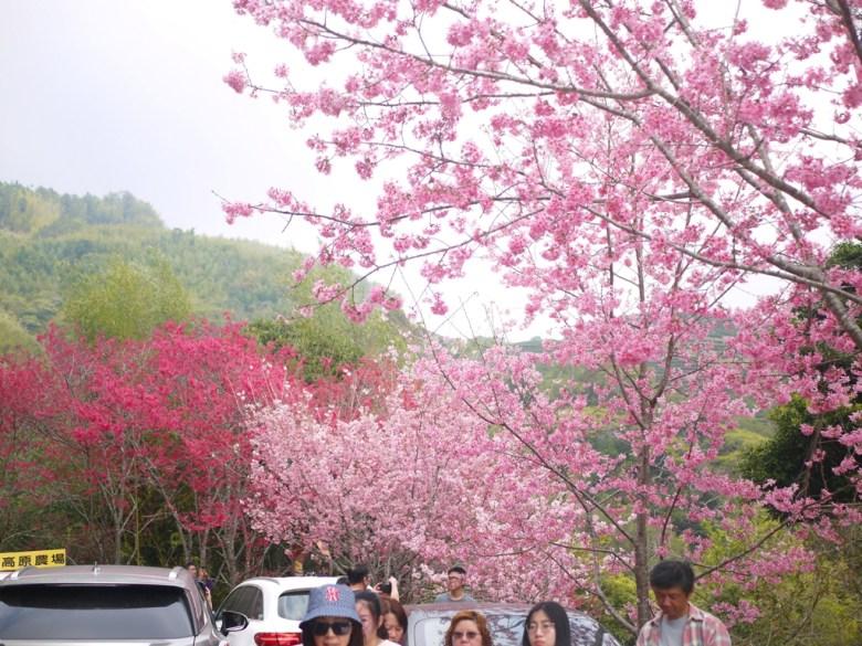 滿滿臺灣旅人 | 櫻花大道 | 自然清新的高山 | 人車共道 | 水洩不通 | グーコン | Gukeng | RoundtripJp