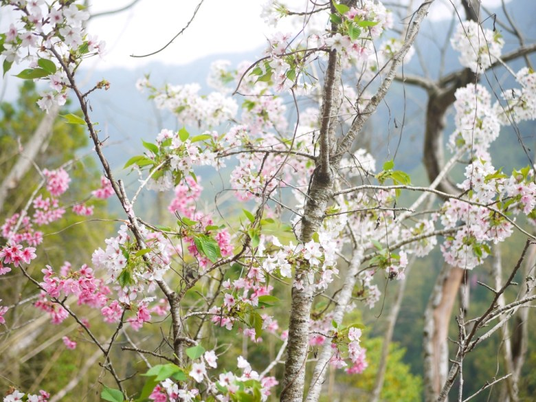 粉紅與潔白櫻花同棵樹的美麗景緻   粉紅與潔白櫻花相間   石壁風景區   石壁   古坑   雲林   巡日旅行攝