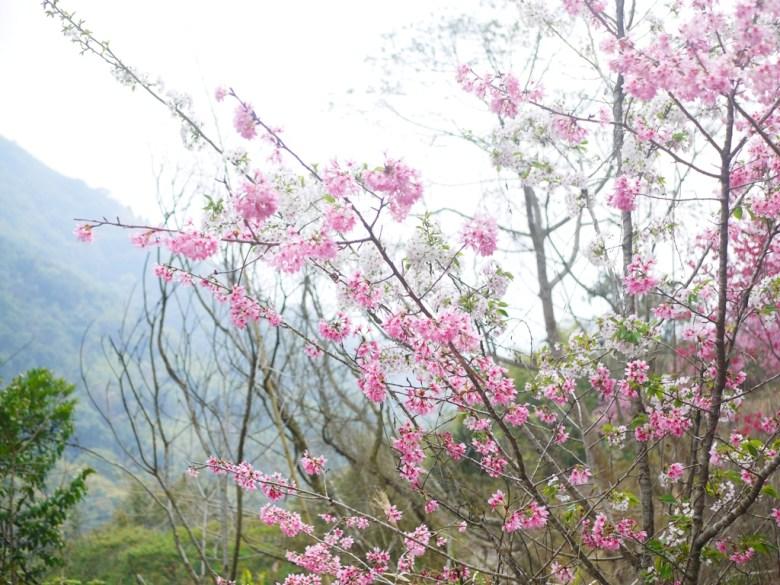 粉紅與潔白櫻花同棵樹的奇特景緻 | 粉紅與潔白 | 石壁風景區 | グーコン | Gukeng | RoundtripJp