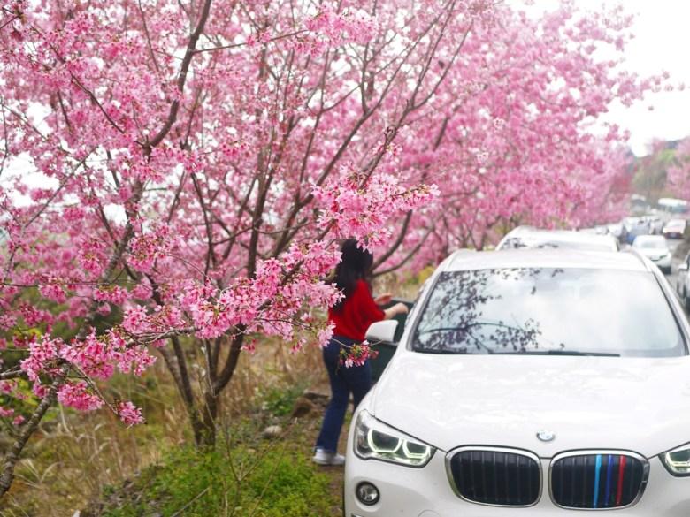 綿延不絕的櫻花與綿延不絕的車潮   狹窄的山道   紅粉佳人   櫻花大道   石壁風景區   石壁   古坑   雲林   RoundtripJp