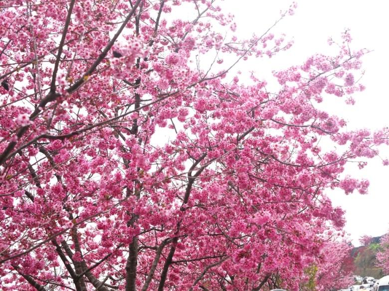 超級盛開   大滿開的絕美櫻花景緻   紅粉佳人   櫻花大道   石壁風景區   石壁   古坑   雲林   巡日旅行攝
