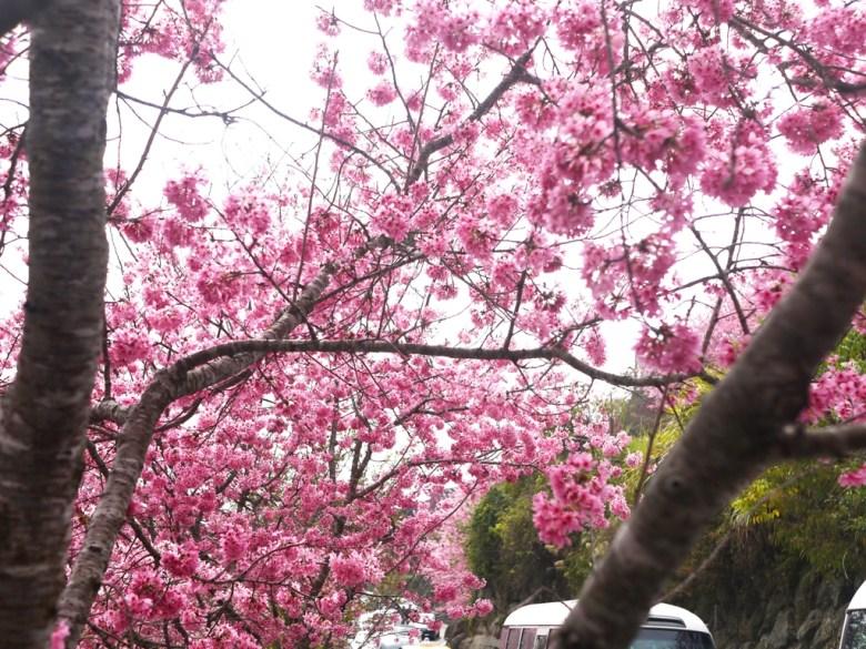 櫻花與車車 | 大塞車的山道 | 會車困難 | 紅粉佳人 | 櫻花大道 | 石壁風景區 | 石壁 | 古坑 | 雲林 | RoundtripJp