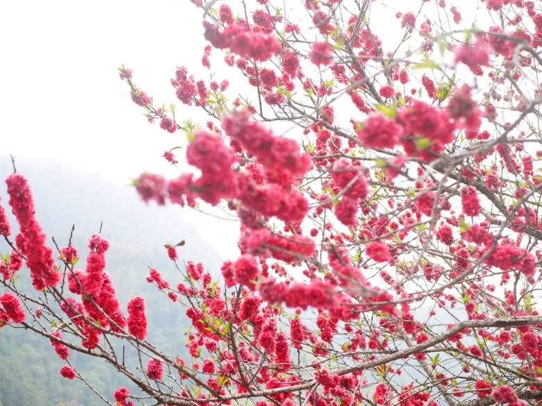 鮮豔的紅杏花   鮮紅美麗   櫻花大道   石壁風景區   石壁   古坑   雲林   RoundtripJp
