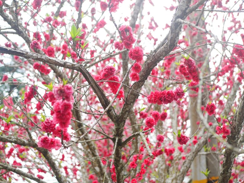 美麗的紅杏花   鮮豔紅潤   美不勝收   石壁風景區   石壁   古坑   雲林   巡日旅行攝