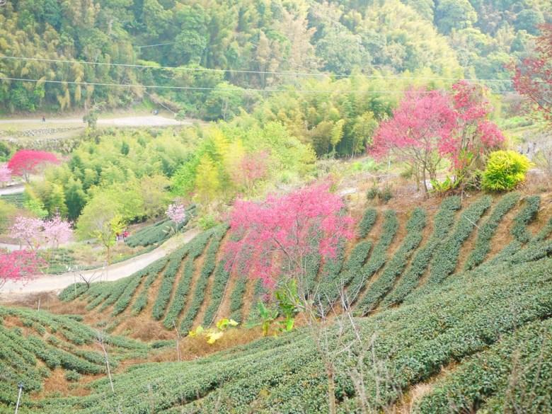 滿山遍野的茶園 | 萬綠中間一抹紅 | 粉紅櫻花 | 粉紅佳人 | 石壁風景區 | 石壁 | 古坑 | 雲林 | RoundtripJp
