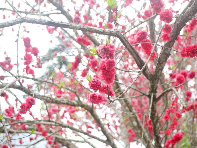 紅色杏花 | 絕美景緻 | 嬌豔鮮紅 | 石壁風景區 | 石壁 | 古坑 | 雲林 | 巡日旅行攝