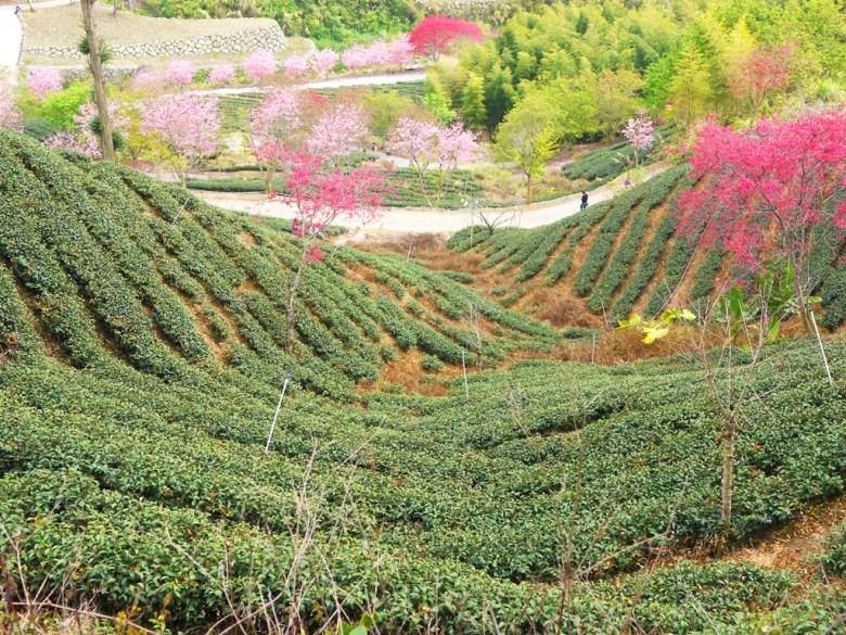 美的像是一幅畫   茶樹   櫻花   臺灣旅人   石壁風景區   石壁   古坑   雲林   RoundtripJp