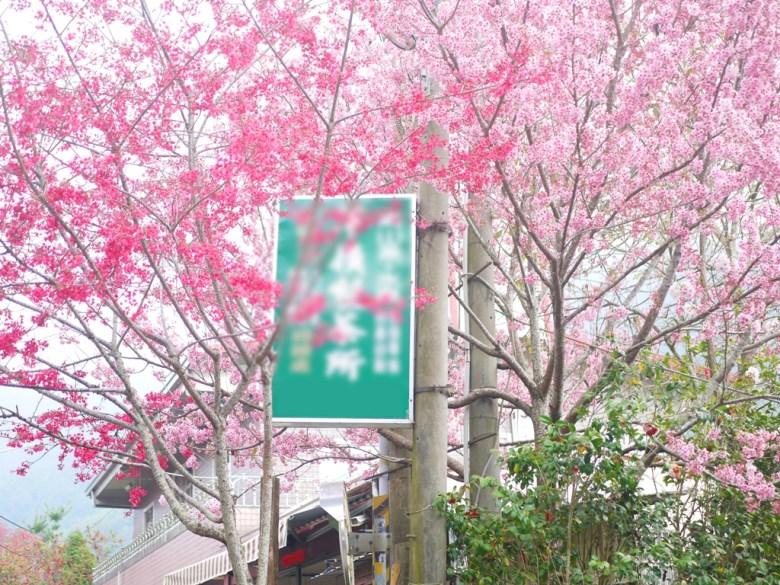 櫻花海   盛開的很美   私人農場蘇家農場前   往前為第二段櫻花大道   往右下前往美人谷賞櫻環線   石壁   古坑   雲林   巡日旅行攝