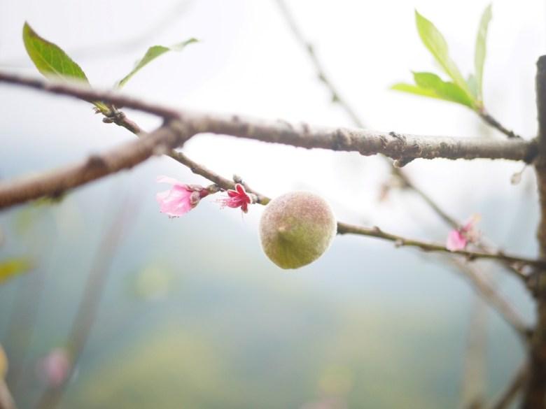 桃花與桃子   往美人谷賞櫻環線   Gukeng   Yunlin   石壁   古坑   雲林   巡日旅行攝