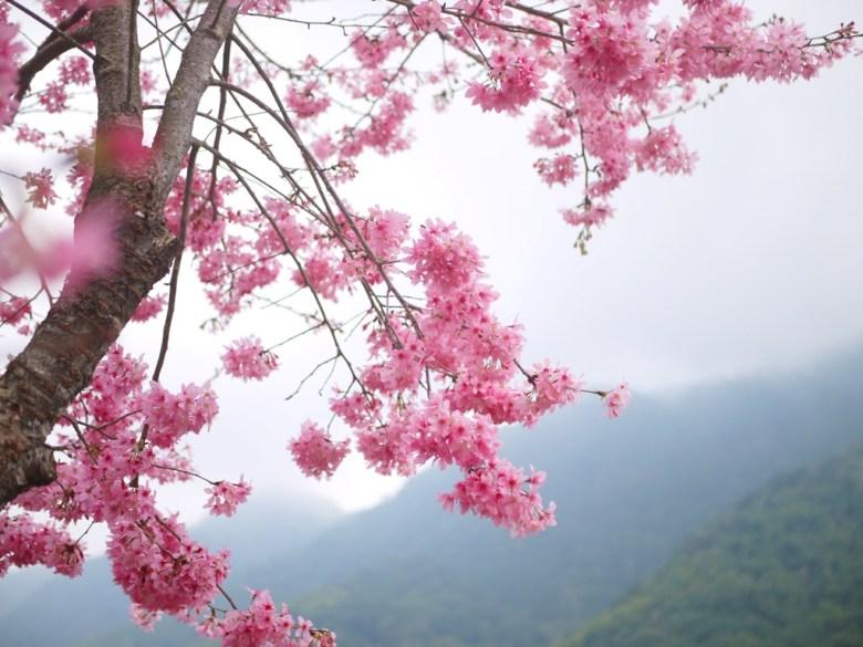 深山雲霧 | 紅粉佳人 | 像是粉紅繡球花的櫻花 | 超級飽滿 | 石壁 | 古坑 | 雲林 | RoundtripJp
