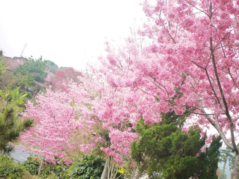 滿開的紅粉佳人   滿滿的櫻花林   超級飽滿   石壁   古坑   雲林   RoundtripJp