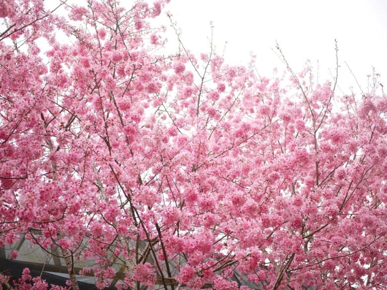 大滿開的櫻花   紅粉佳人   滿滿滿的櫻花畫面   石壁   古坑   雲林   巡日旅行攝