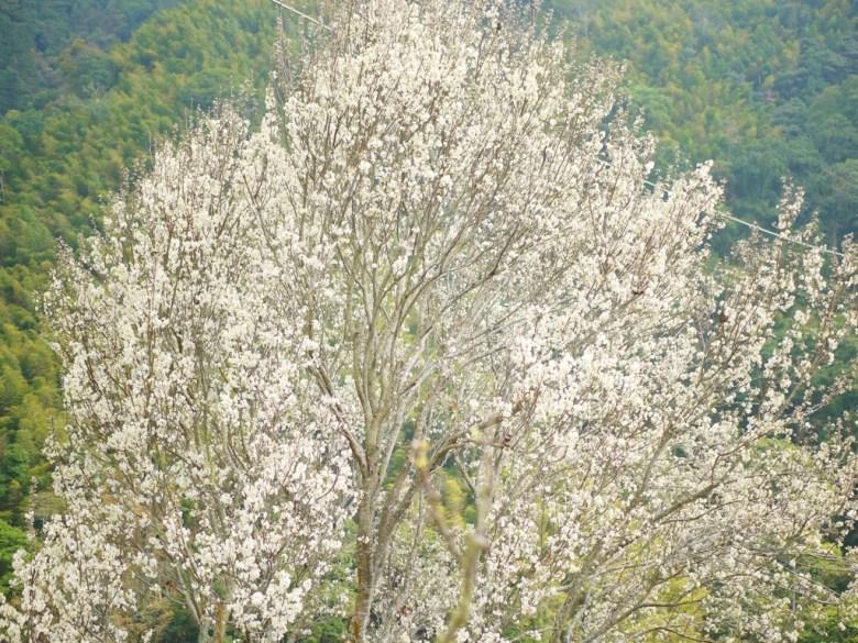 白色櫻花   白色山櫻   福爾摩沙櫻   大滿開   絕美白色   石壁風景區   Gukeng   Yunlin   RoundtripJp