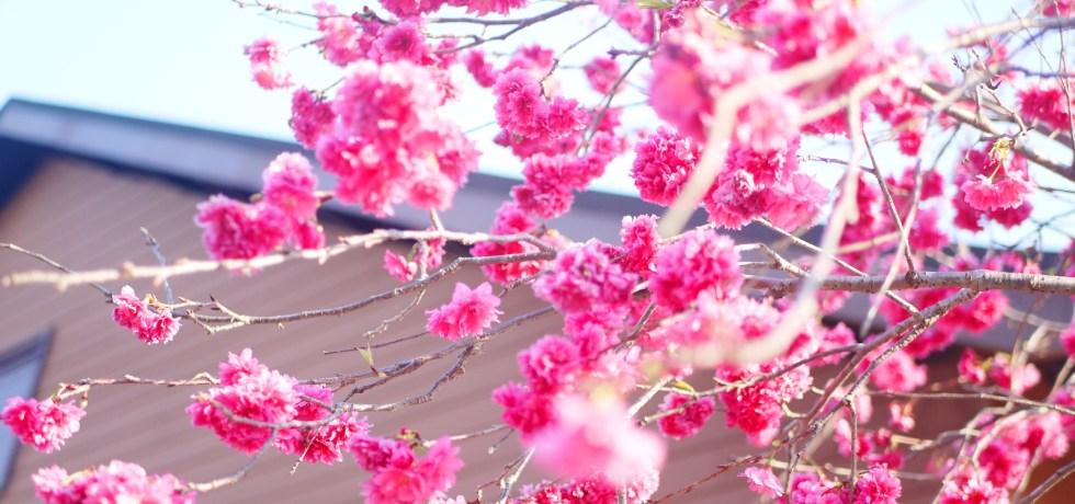 盛開飽滿的八重櫻 | 飽滿紅潤 | 日式木造建築 | 櫻花車站 | 集集 | 南投 | しゅうしゅうえき | 巡日旅行攝