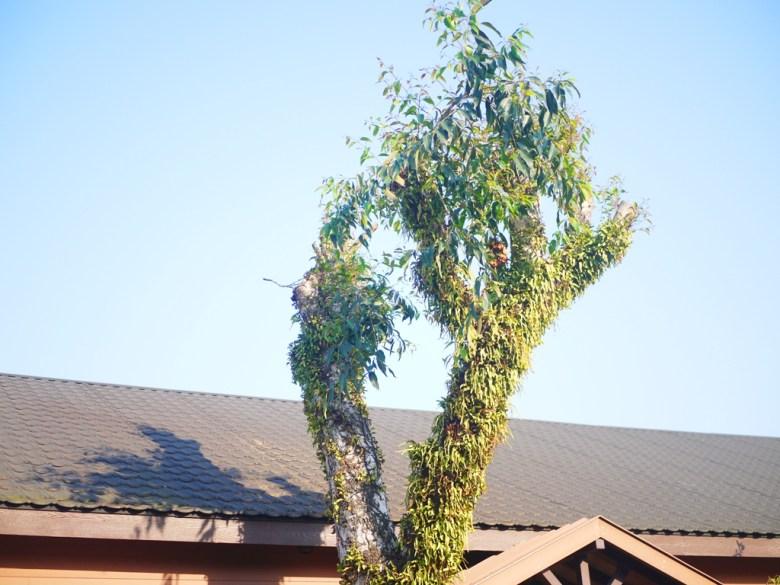青空與綠木 | 木造車站 | 黑色瓦片 | 溫潤的木造車站 | 集集 | 南投 | しゅうしゅうえき | RoundtripJp