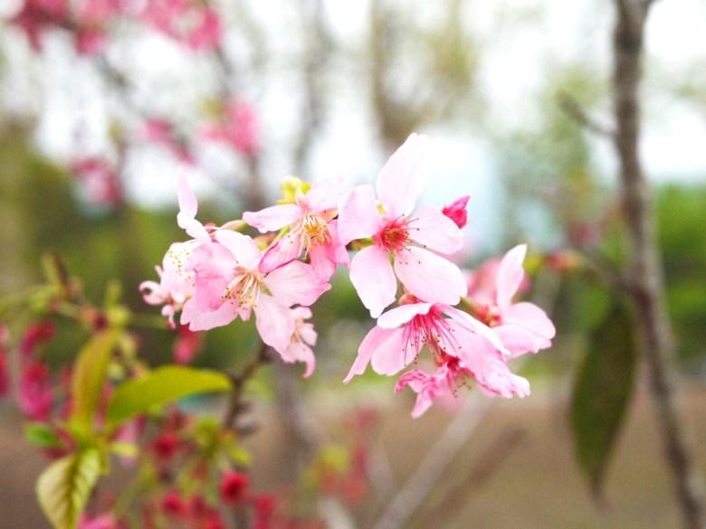 河津櫻 | 小半天石馬公園 | Shih Ma Park | 櫻花公園 | 日式公園 | 和風巡禮 | 巡日旅行攝