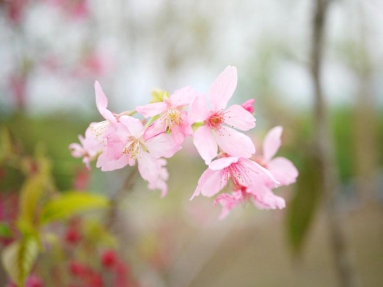 河津櫻 | Sakura | さくら | サクラ | ルーグー | Lugu | Nantou | Wafu Taiwan | RoundtripJp