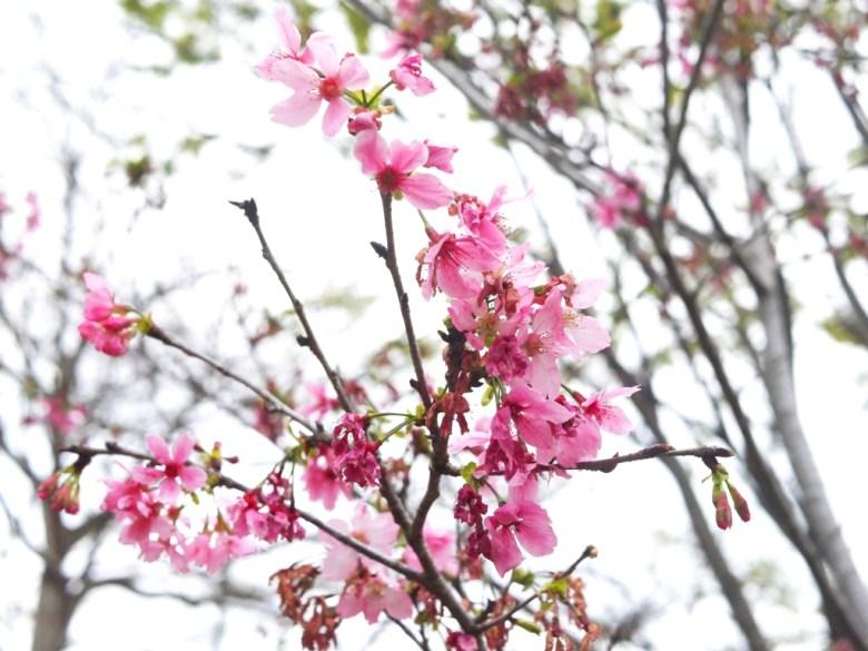 河津櫻 | Sakura | さくら | サクラ | Shih Ma Park | ルーグー | Lugu | Nantou | 巡日旅行攝