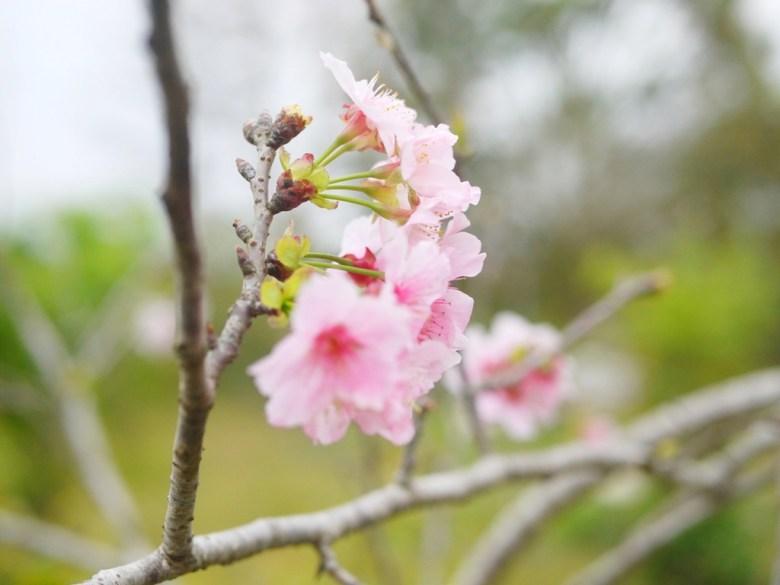 粉嫩粉紅的河津櫻 | 櫻花公園 | 日式公園 ルーグー | Lugu | Nantou | RoundtripJp