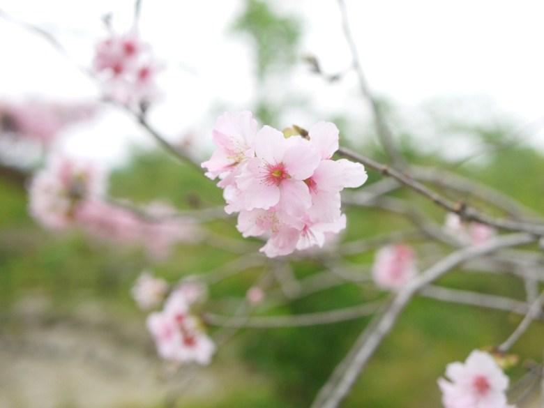 櫻花紛飛 | 粉嫩河津櫻 | Shih Ma Park | 櫻花公園 | 日式公園 | 巡日旅行攝