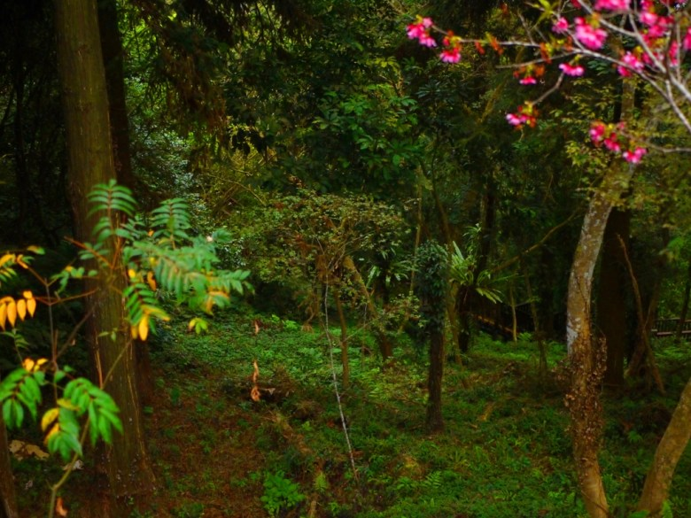 清幽自然 | 綠樹蒼蒼 | 山櫻花 | 南投鳳凰自然教育園區 | 鹿谷 | 南投 | 巡日旅行攝