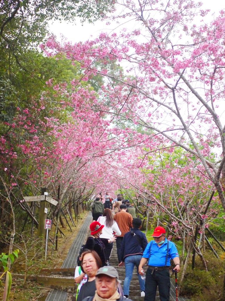 滿滿人潮 | 河津櫻天梯入口處 | 臺灣旅人 | 南投鳳凰自然教育園區 | ルーグー | Lugu | Nantou | RoundtripJp