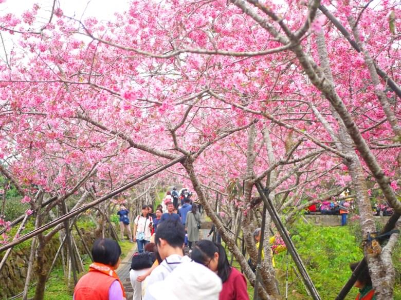 被萬千河津櫻蓋滿的天空 | 櫻花天空 | 粉色天空 | 日本味 | 南投鳳凰自然教育園區 | ルーグー | Lugu | Nantou | RoundtripJp
