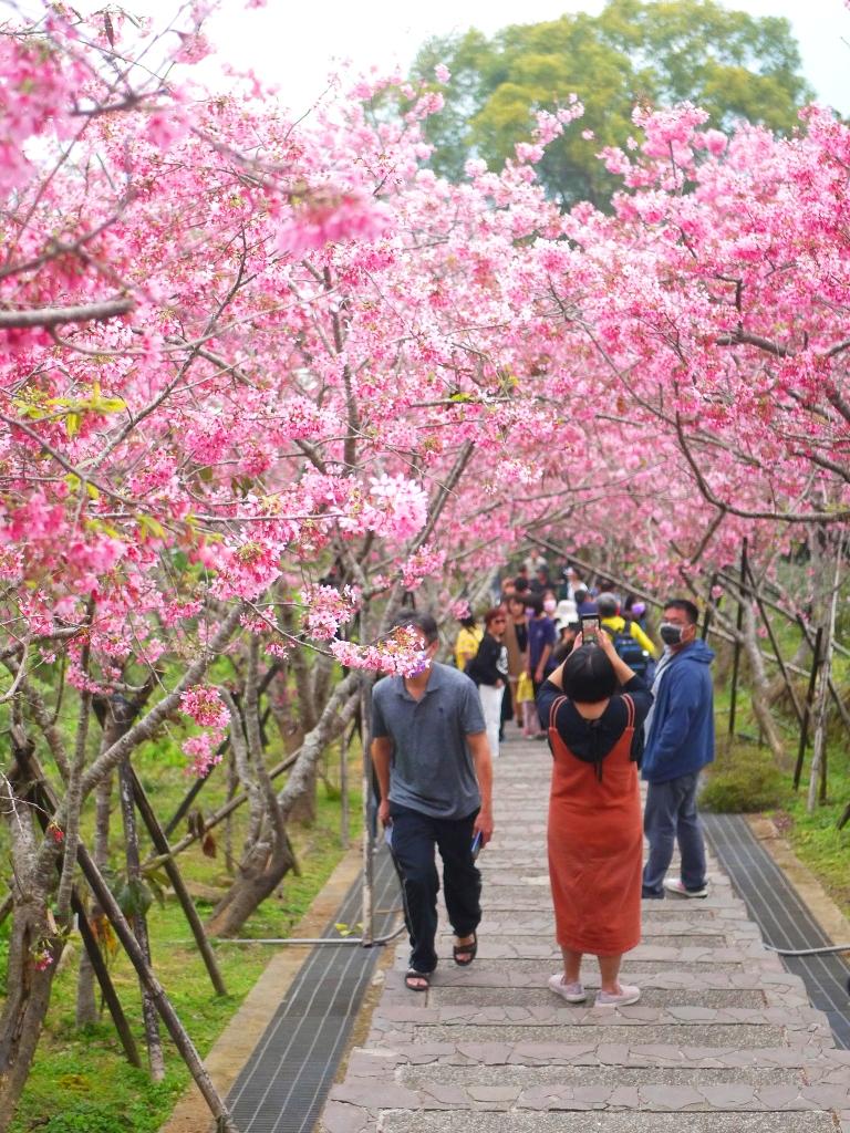 綿延不絕的人龍與櫻花林 | 賞櫻的臺灣旅人 | 日本味 | 南投鳳凰自然教育園區 | 鹿谷 | 南投 | 巡日旅行攝