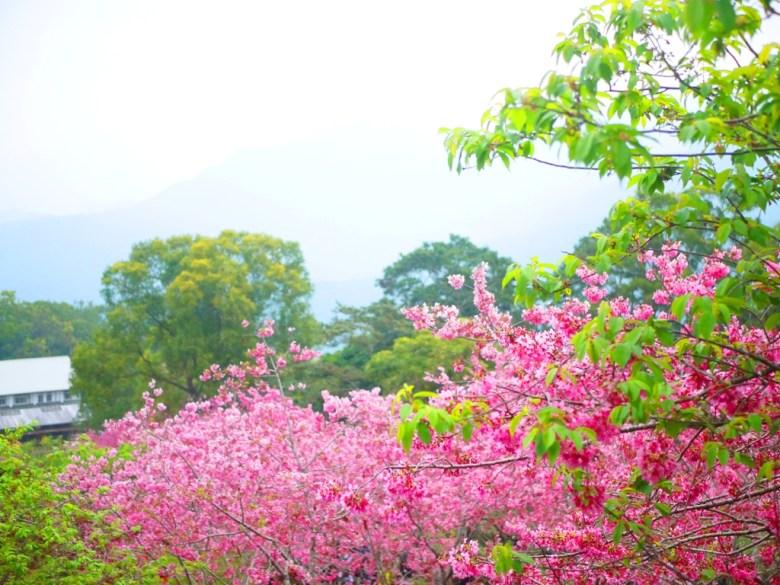 遠山與櫻花之美 | 像是仙境般的櫻花秘境 | 日本味 | 南投鳳凰自然教育園區 | ルーグー | Lugu | Nantou | RoundtripJp