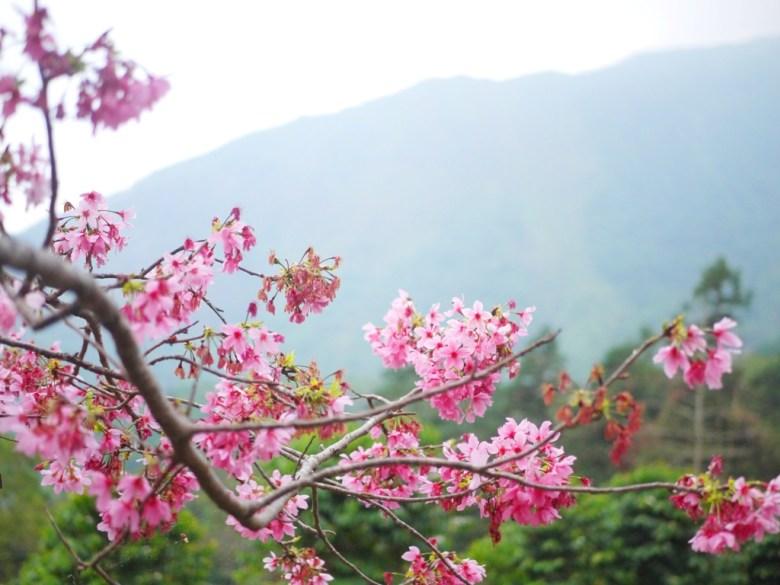 雲霧覆蓋的遠山 | 河津櫻之美 | 日式風情 | 南投鳳凰自然教育園區 | ルーグー | Lugu | Nantou | RoundtripJp