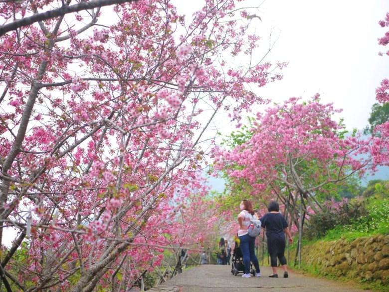 橫向櫻花步道 | 賞櫻民眾 | 臺灣旅人 | 日本味 | 南投鳳凰自然教育園區 | 鹿谷 | 南投 | 巡日旅行攝