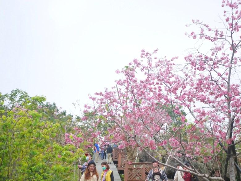 深受臺灣旅人喜愛的櫻花拍照熱點 | 櫻花觀景亭 | 南投鳳凰自然教育園區 | 鹿谷 | 南投 | 巡日旅行攝