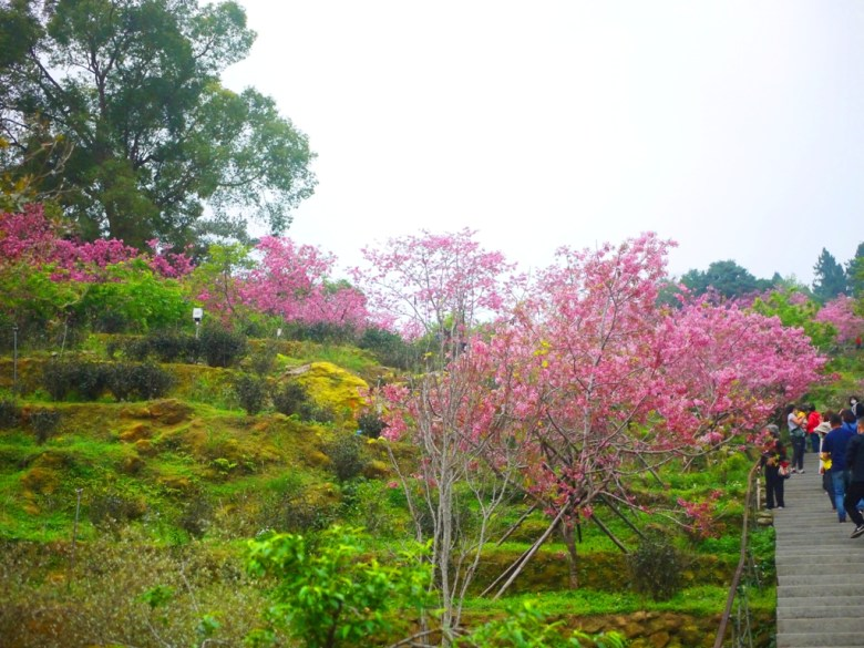 靠近住宿停車場的櫻花步道 | 南投鳳凰自然教育園區 | ルーグー | Lugu | Nantou | RoundtripJp