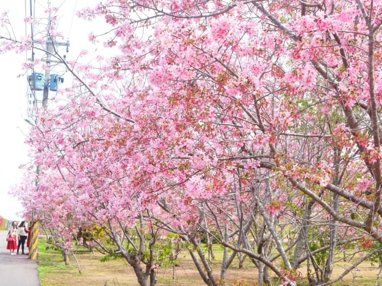 巷弄內富士櫻秘境 | 賞櫻的臺灣旅人 | 櫻吹雪 | しんしゃ | Xinshe | Taichung | Wafu Taiwan | RoundtripJp