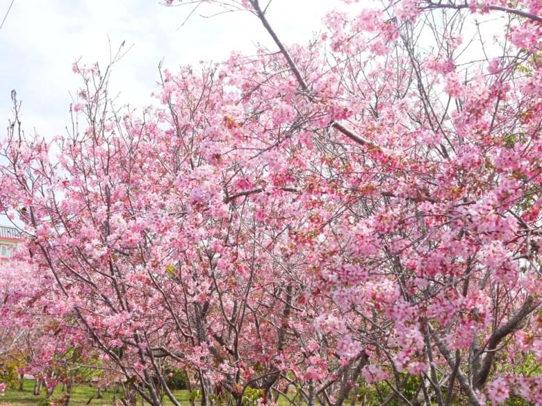 滿滿的富士櫻 | 絕美夢幻 | 富士櫻の櫻花秘境 | 新社 | 台中 | 和風臺灣 | 巡日旅行攝