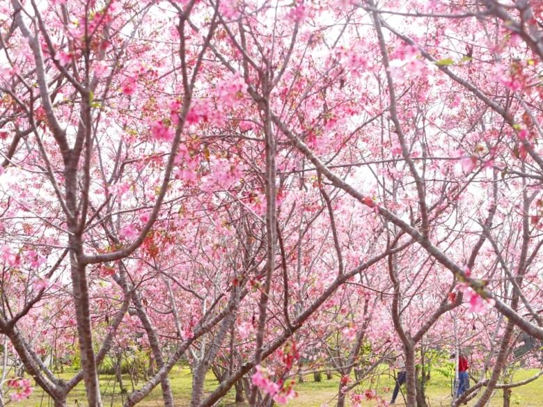 綿延不絕 | 四四方方 | 富士櫻花秘境 | 日本味 | 富士櫻の櫻花秘境 | 新社 | 台中 | 巡日旅行攝
