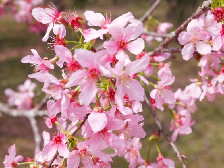 粉嫩迷人 | 富士櫻 | 小巧可愛的小豆櫻 | 日本味 | しんしゃ | Xinshe | Taichung | RoundtripJp